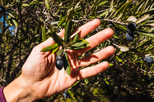 A woman holds in her hand an olive twig with its fruit, Mediterranean black olives.