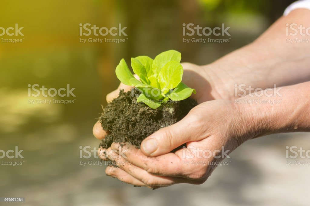 Woman holds young green leaf salad in hands in sunshine stock photo