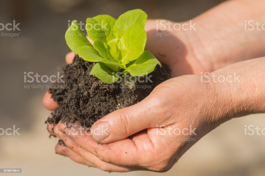 Woman holds young green leaf salad in hands stock photo