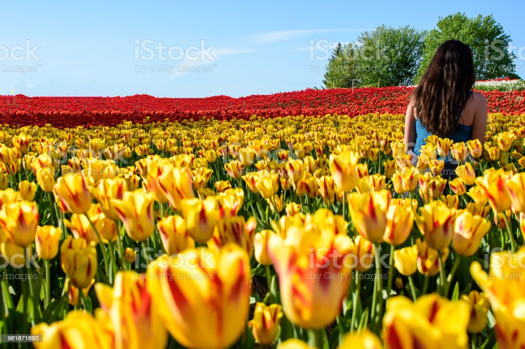 Woman in a field of tulips facing away with sunshine and blue sky red and yellow tulips in scenic landscape stock photo