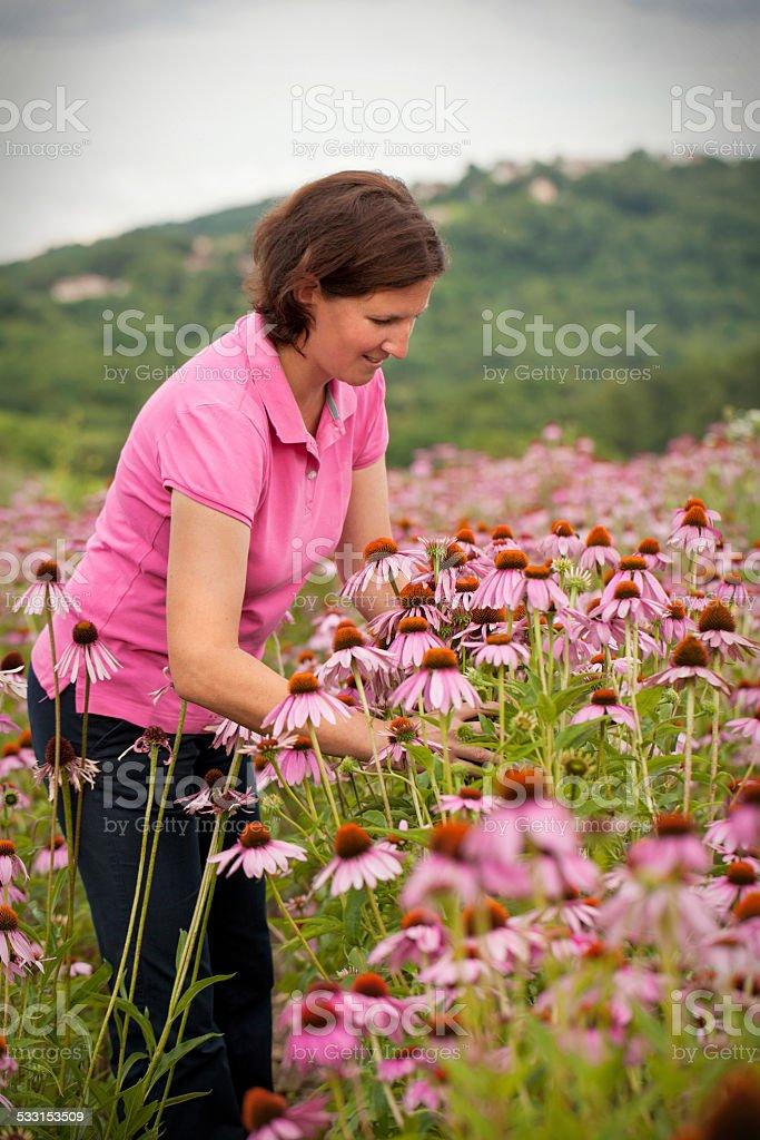 Woman in coneflower field stock photo