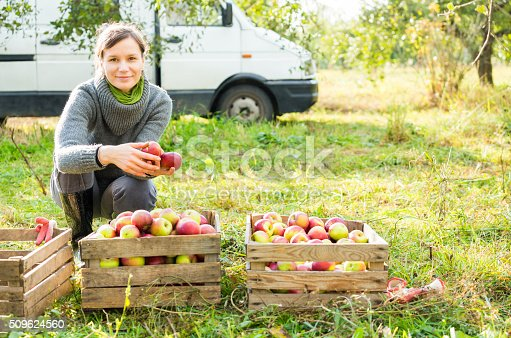 istock Woman in organic apple orchard during autumn harvest. 509624560