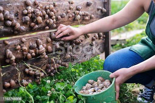 Unrecognizable woman picking snails in farm.