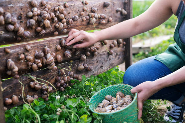 Woman in snail farming picking snails. Unrecognizable woman picking snails in farm. mollusk stock pictures, royalty-free photos & images