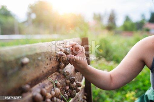 Unrecognizable woman picking snails in farm.