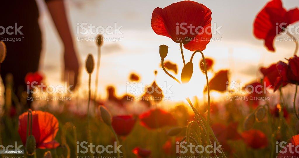 Woman In The Poppy Field stock photo