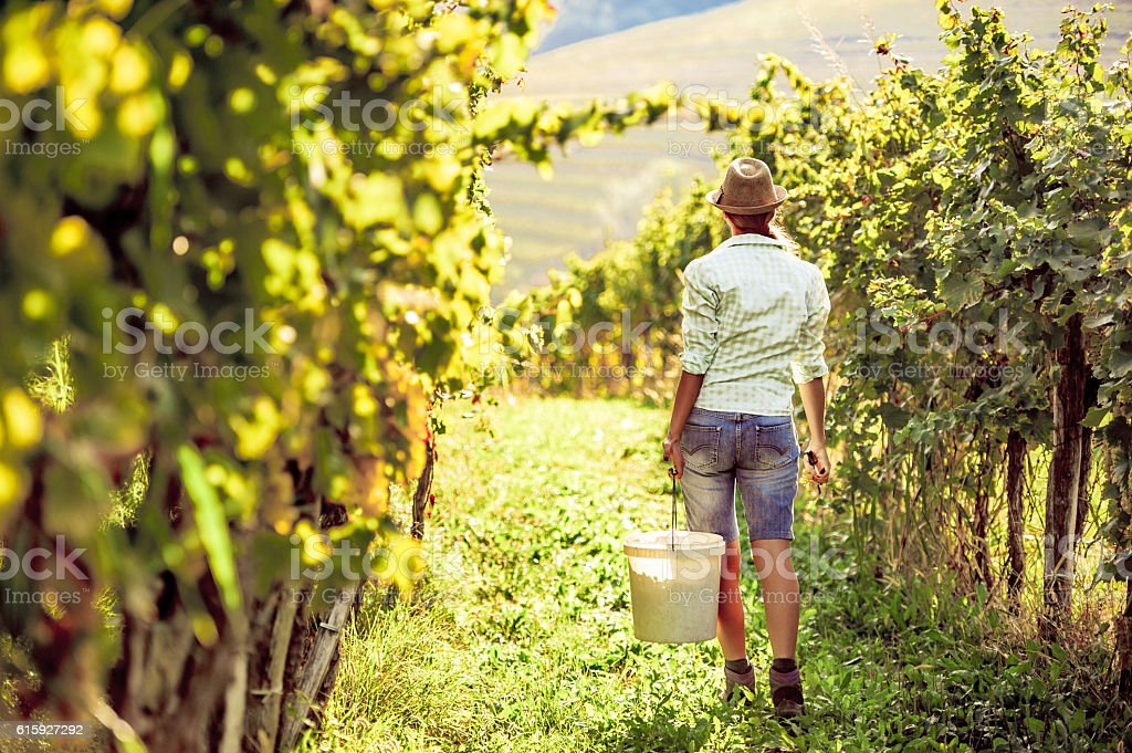 Woman in the Vineyard during the Harvest stock photo