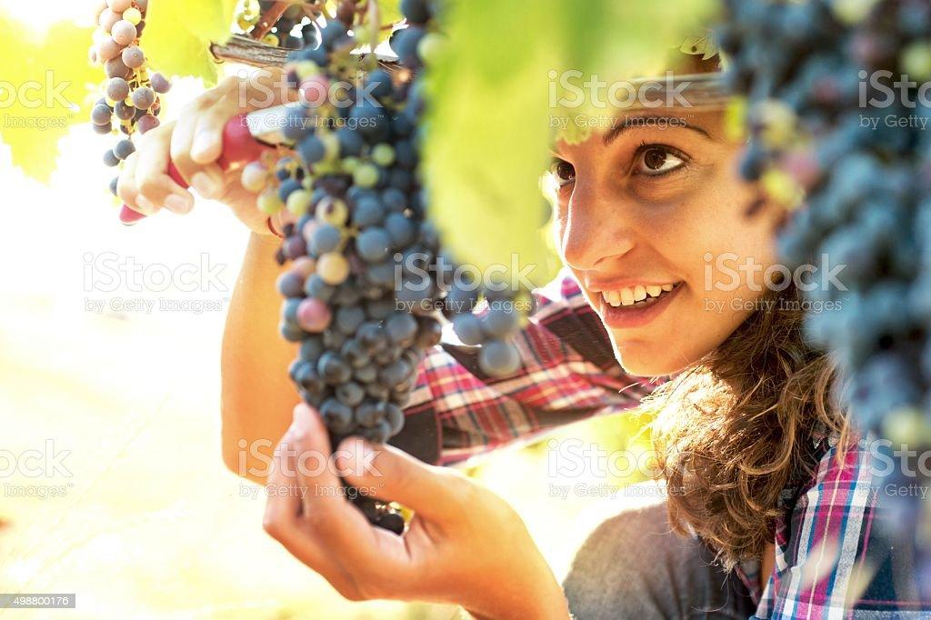 Woman in Vineyard Harvesting Grapes stock photo