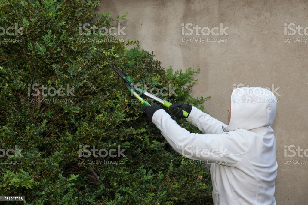 woman in white cuting hedges stock photo