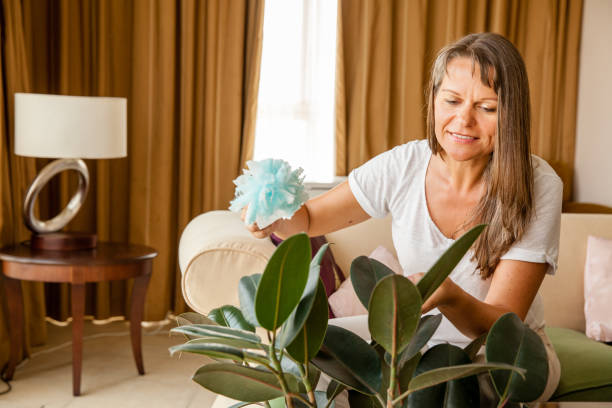 Woman is cleaning houseplant stock photo