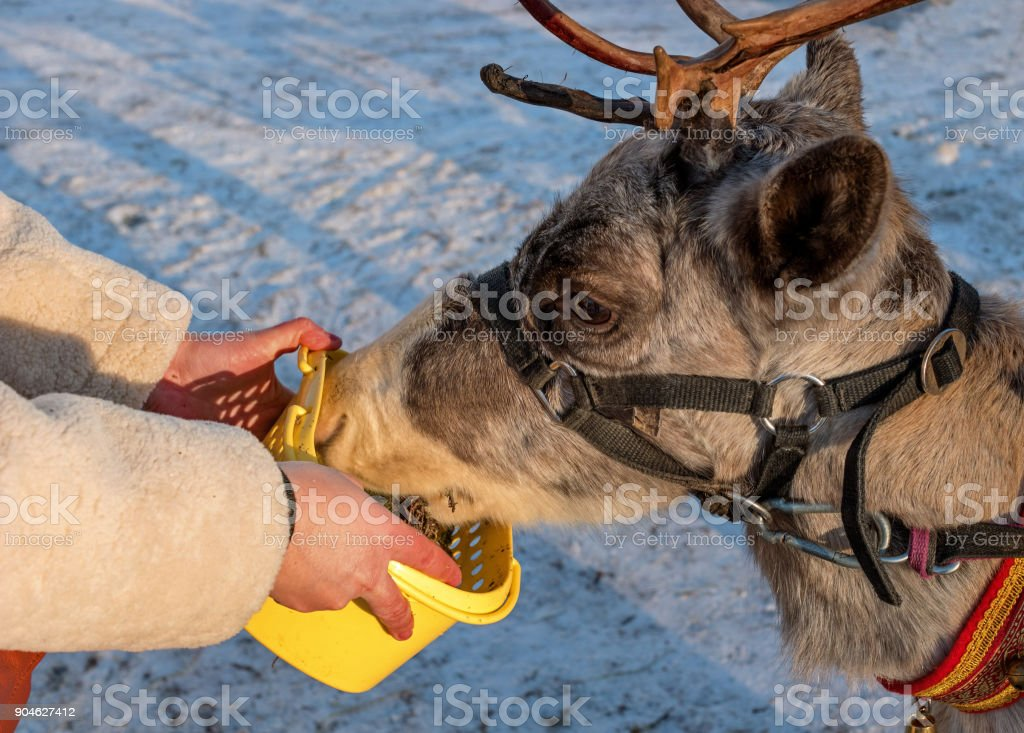 A woman is feeding a reindeer. The deer are fed with moss. The moss is in a yellow plastic box. stock photo