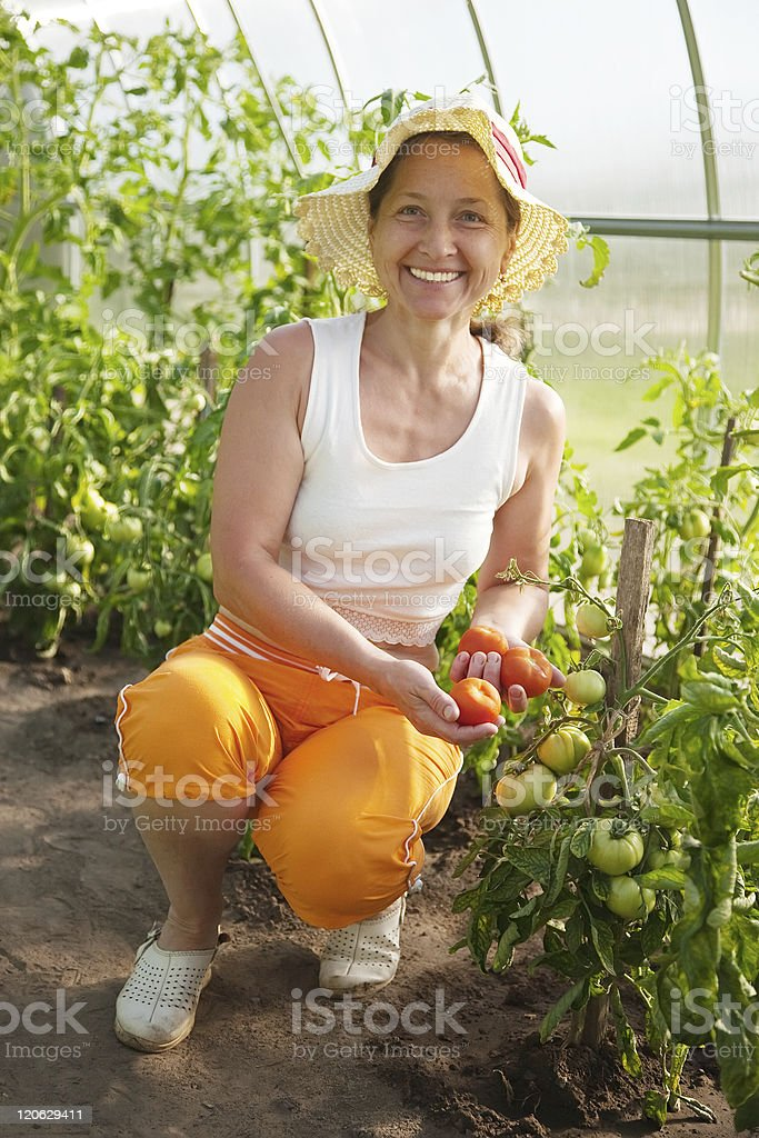 woman is picking of tomato royalty-free stock photo