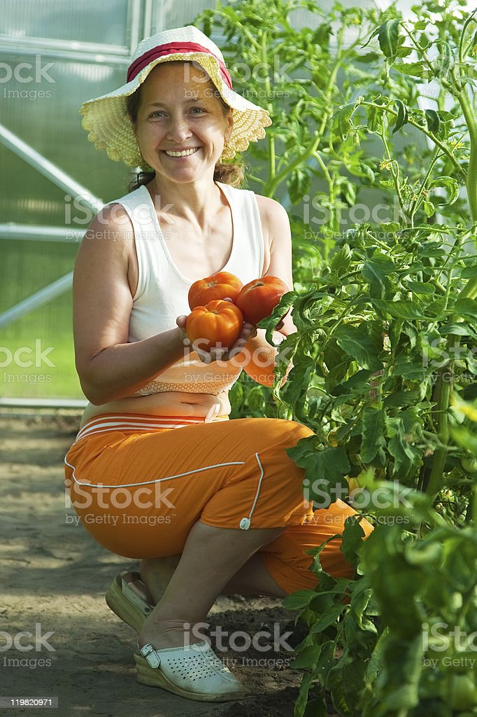 woman is picking tomato royalty-free stock photo