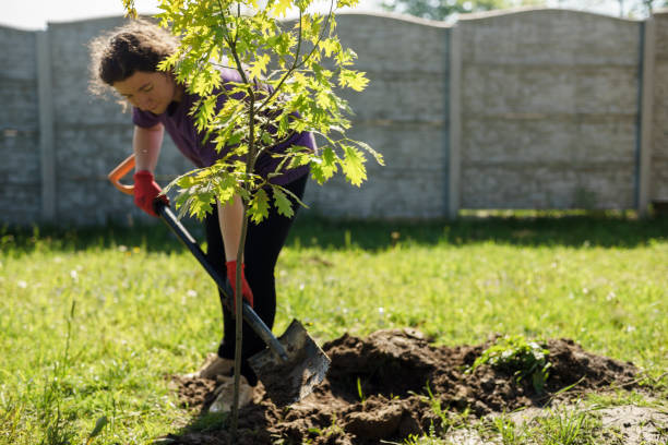 A woman is planting an oak tree in the garden.