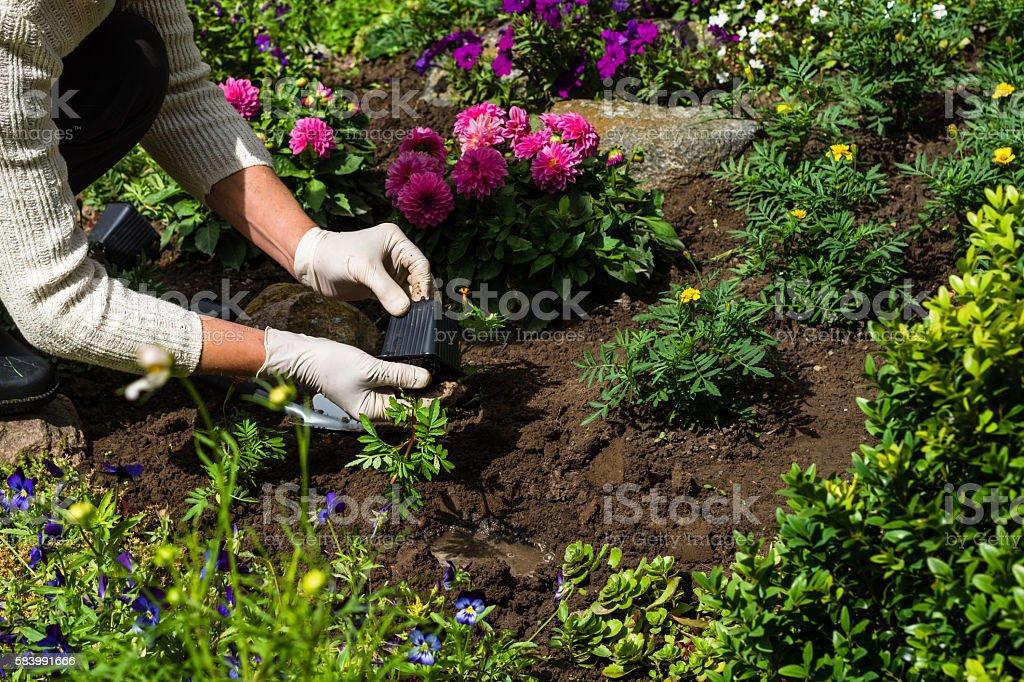 Woman Is Planting Marigold Seedlings In The Flower Garden Stock