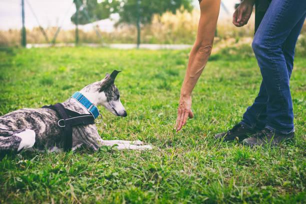 woman is training her dog to lie down - training imagens e fotografias de stock