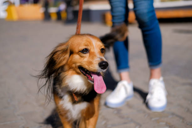 woman is walking with her dog. Funny spaniel mutt in summer city street stock photo