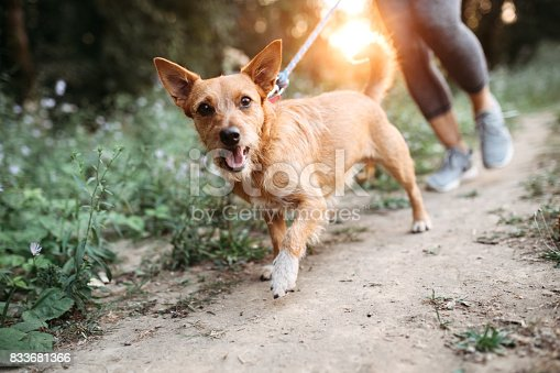 istock Woman Jogging With Dogs 833681366