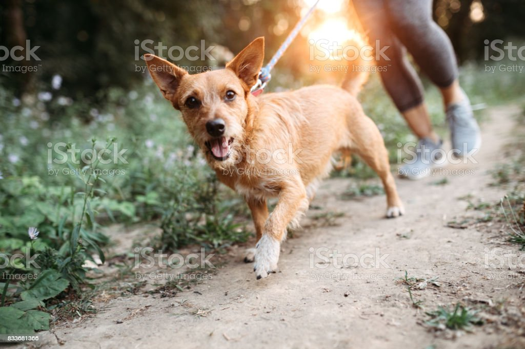 Woman Jogging With Dogs stock photo