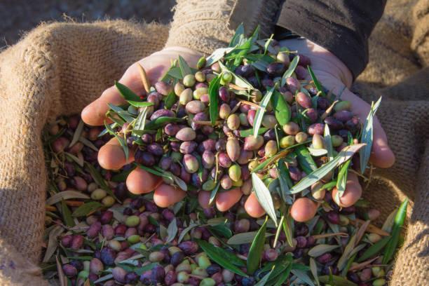 Frau hält in ihren Händen einige der geernteten Oliven in einem Feld, Kreta, Griechenland für die Produktion von Olivenöl – Foto