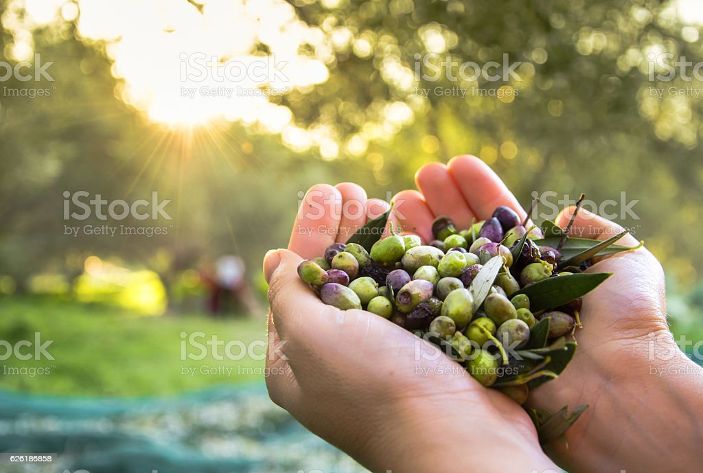 Woman keeps some of the harvested olives, Crete, Greece stock photo