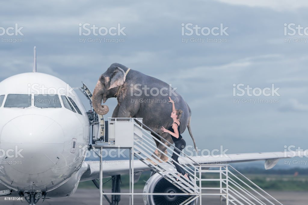 Woman loading elephant on board of plane - foto stock