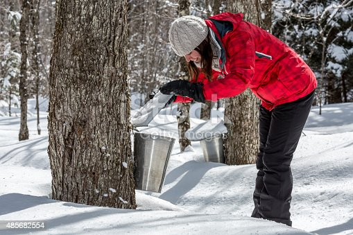 Woman looking inside Aluminium bucket on maple trees. Theses buckets are collecting sap to produce maple syrup at sugar shack at springtime in Quebec, Canada.
