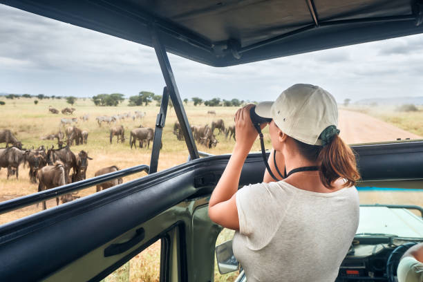 Woman on an African safari travels by car with an open roof and watching wild zebras and antelopes stock photo