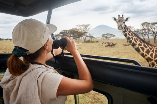 A woman on an African safari travels by car with an open roof and watching wild giraffes and antelope stock photo