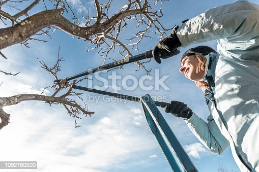 Woman on Ladder Pruning Old Apple Tree with Shears