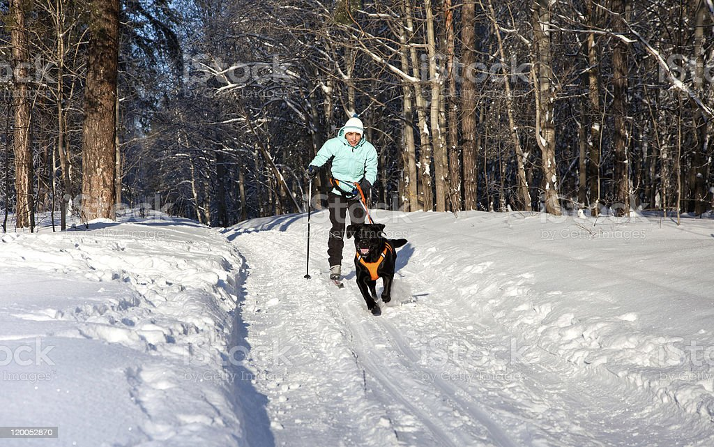 Woman on ski is going for a running dog. stock photo