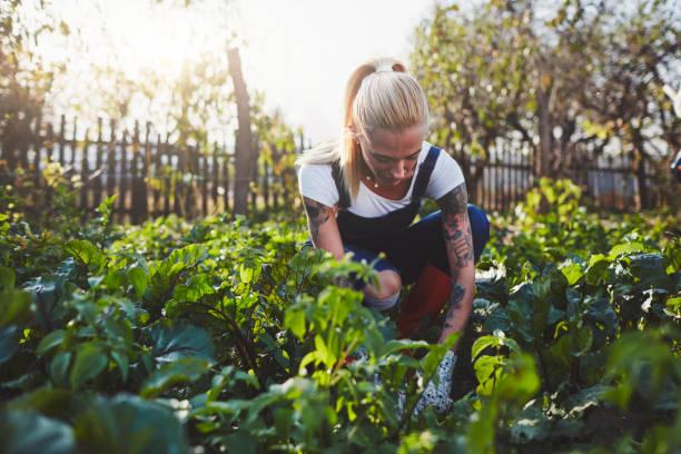 kobieta na farmie ekologicznej - kapustowate zdjęcia i obrazy z banku zdjęć