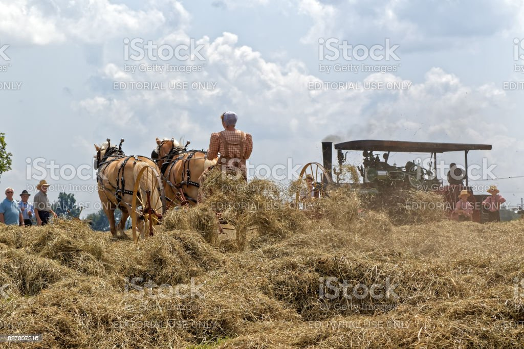 Woman Operating a Horse Drawn Hay Tedder stock photo