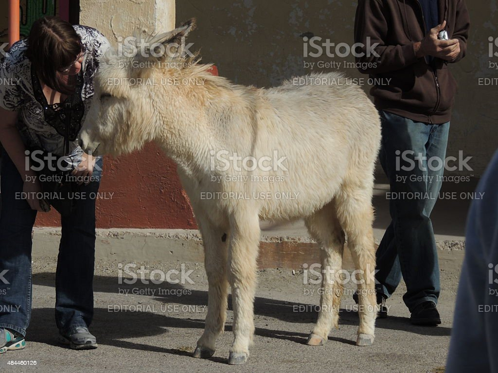 Woman patting wild burro stock photo