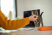 Cheerful young woman taking a break while working on laptop from home and playing with cute kittens on table