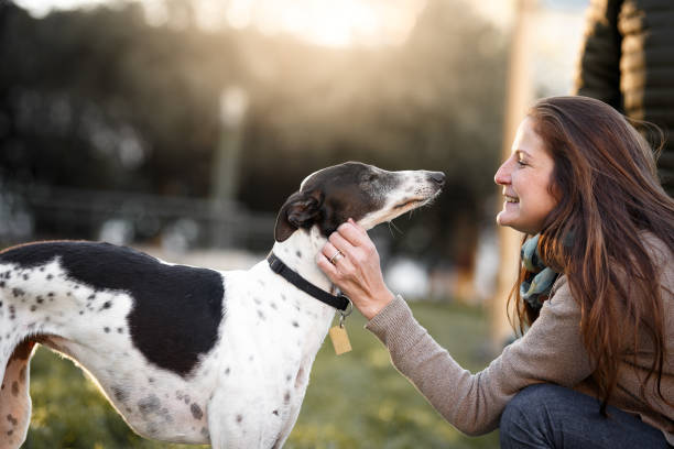 A woman petting her whippet dog A woman and her whippet dog whippet stock pictures, royalty-free photos & images