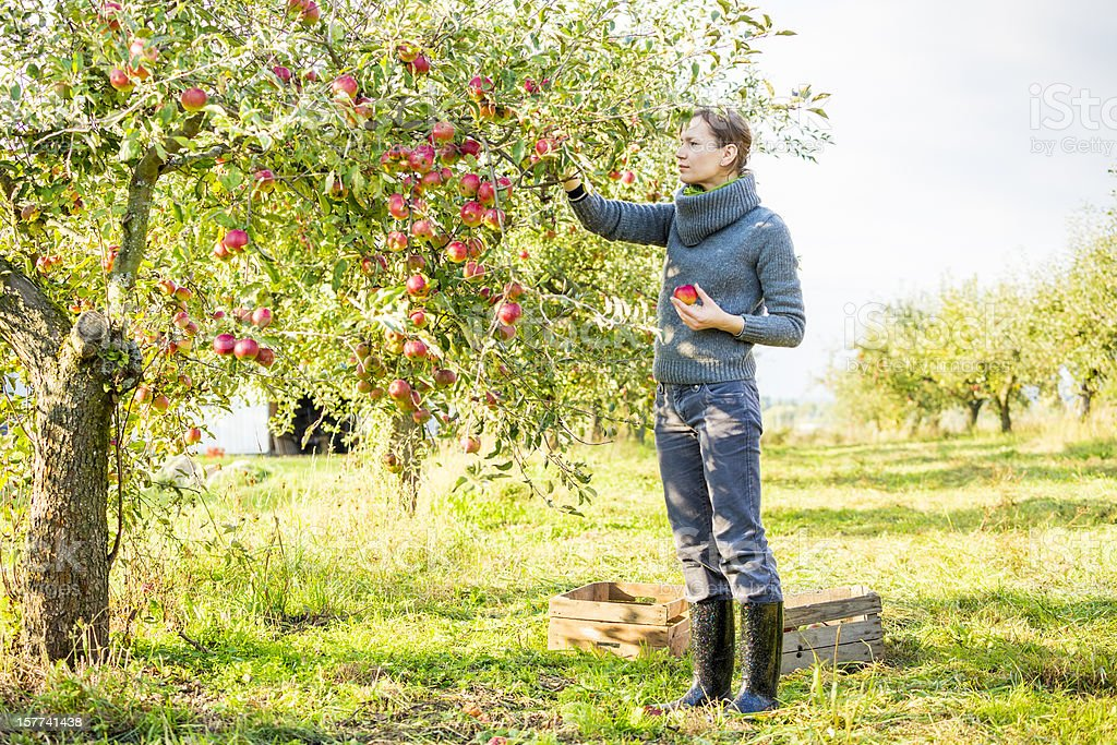 A woman picking apples from a tree stock photo