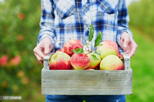 Woman picking ripe organic apples in wooden crate in orchard or on farm on a fall day