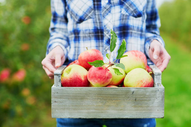 woman picking apples in wooden crate - deciduous stock pictures, royalty-free photos & images