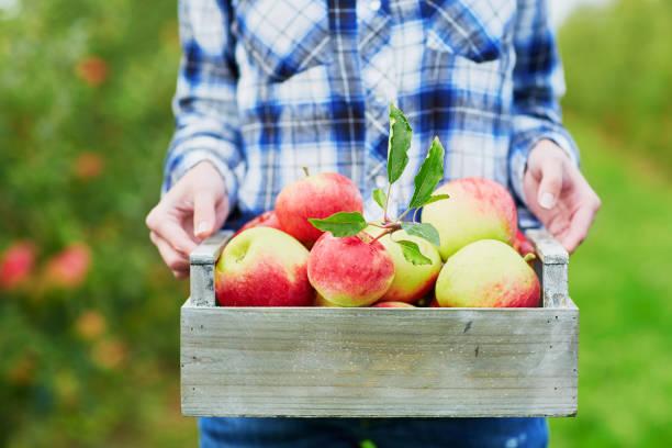 woman picking apples in wooden crate - picking fruit imagens e fotografias de stock