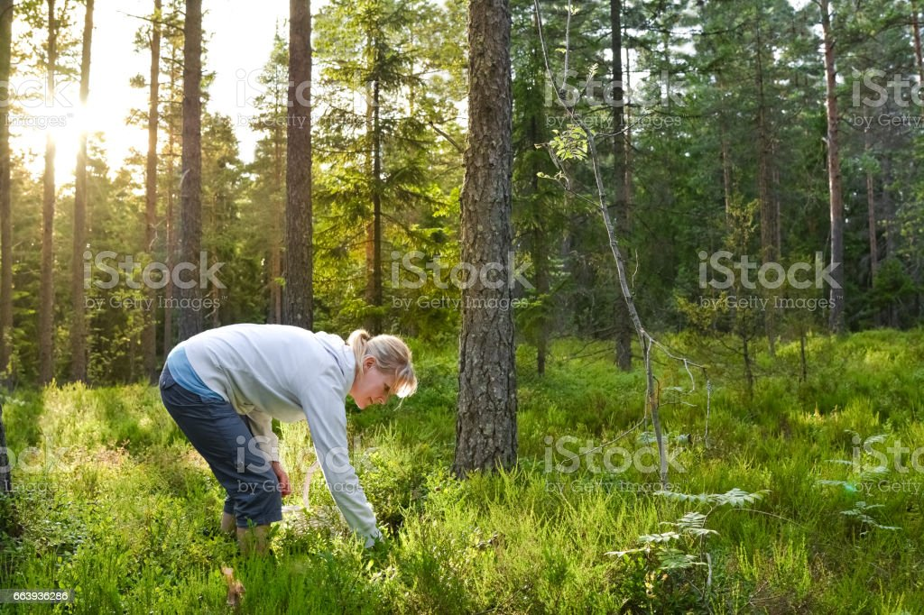 Woman picking berries and mushrooms stock photo