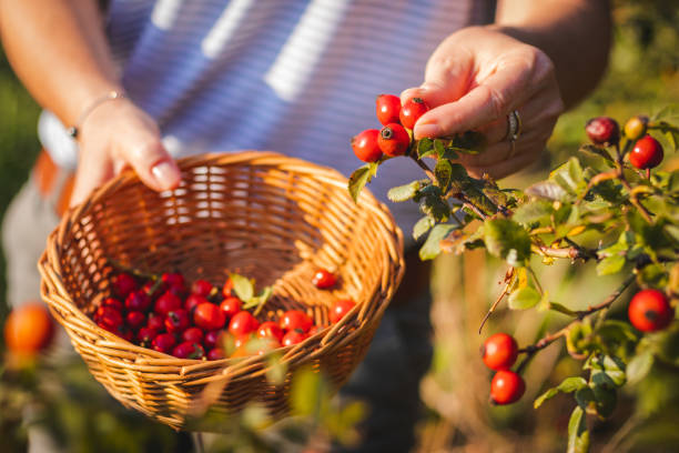 Woman picking berries of rose hip to wicker basket seasonal harvest for alternative medicine. dog rose stock pictures, royalty-free photos & images