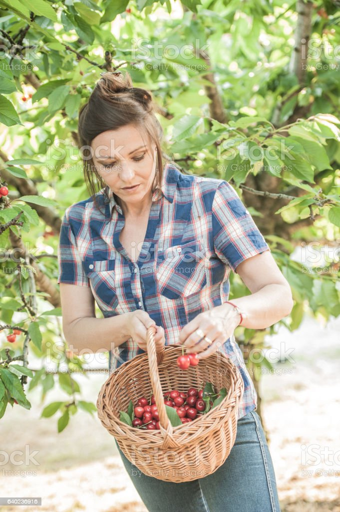 Woman Picking Cherries in her Orchard stock photo