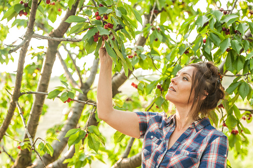 Woman Picking Cherries in her Orchard