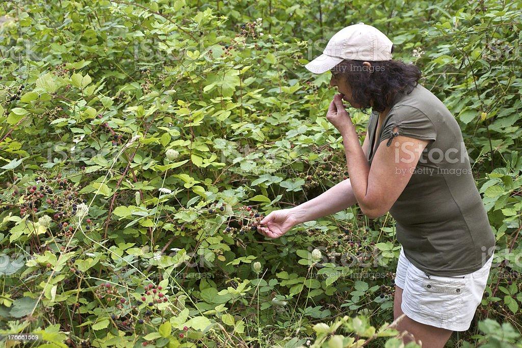 Woman Picking Eating Wild Blackberries Brambleberry Vine Western Oregon royalty-free stock photo
