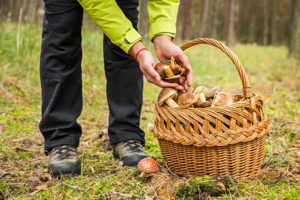 kvinna plockning ätlig svamp i höst skog. - höst plocka svamp bildbanksfoton och bilder