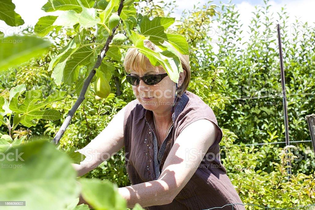 woman picking figs royalty-free stock photo