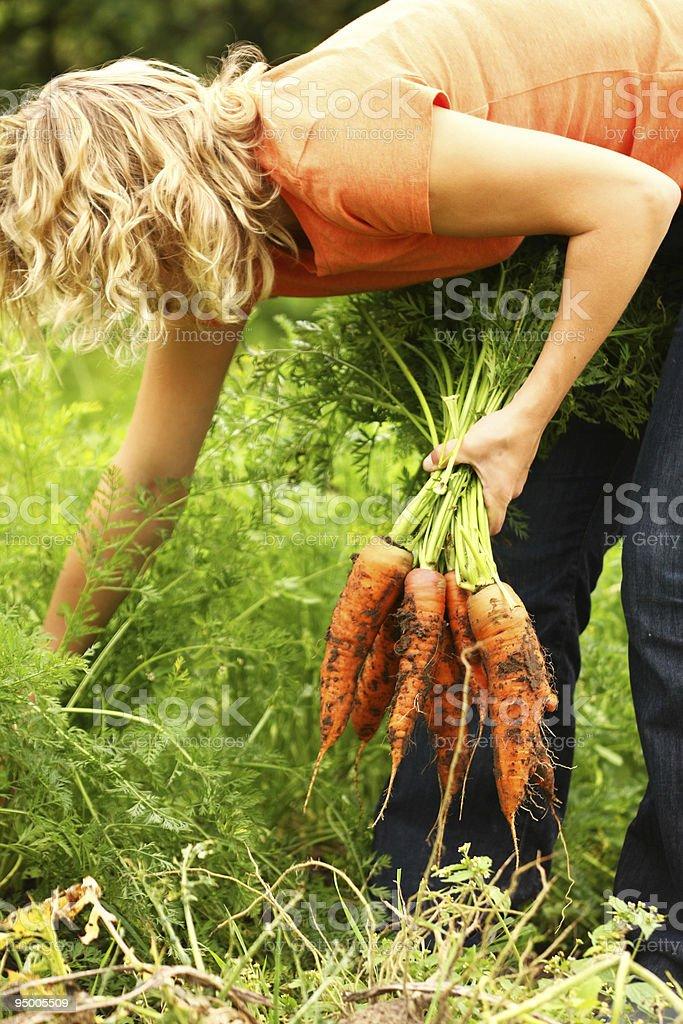 Woman picking fresh carrots royalty-free stock photo