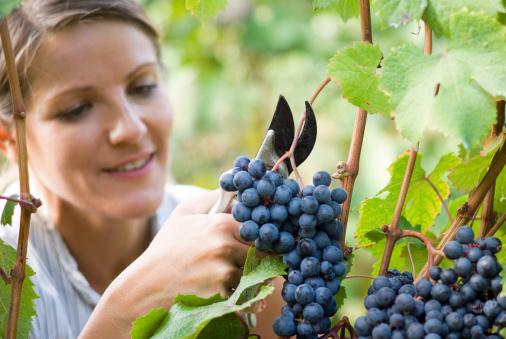 Чудо-ягода подарит здоровье: чем полезен виноград для организма женщины