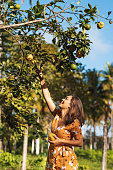 Orange Tree, Picking Up, Orange Fruit, Harvesting, Fruit Tree